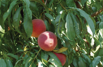 Gold Orchards in Stonewall Texas for the best in Texas Hill